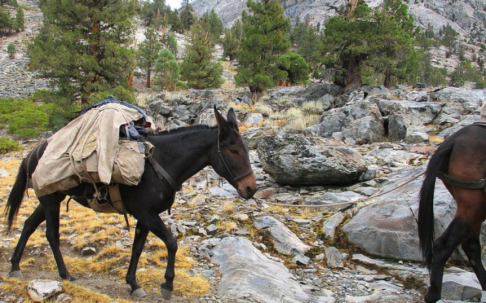 Packing mule - John Muir Trail